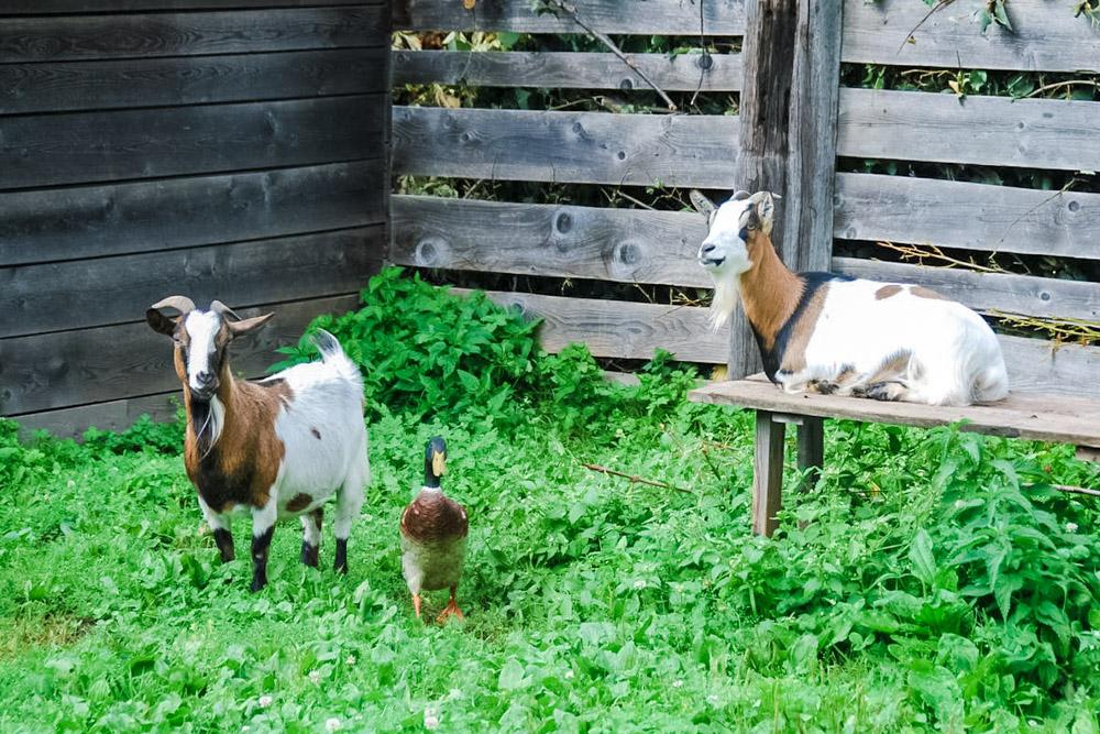 Ziegen und Ente2